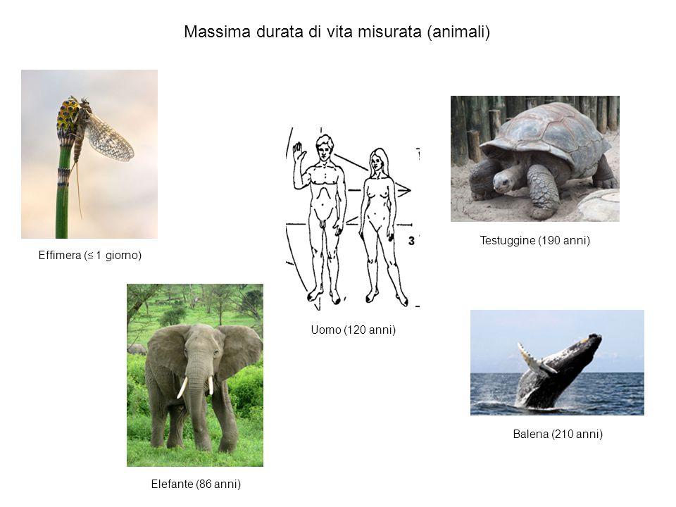 Effimera (≤ 1 giorno) Elefante (86 anni) Uomo (120 anni) Testuggine (190 anni) Balena (210 anni) Massima durata di vita misurata (animali)