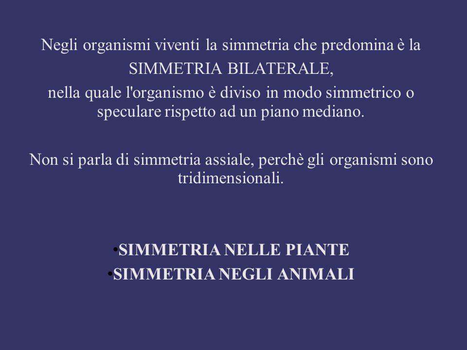 NELLE PIANTE Nel mondo vegetale è presente: - la simmetria bilaterale in cui i vari organi sono divisi da un solo piano di simmetria che li divide in due parti speculari.