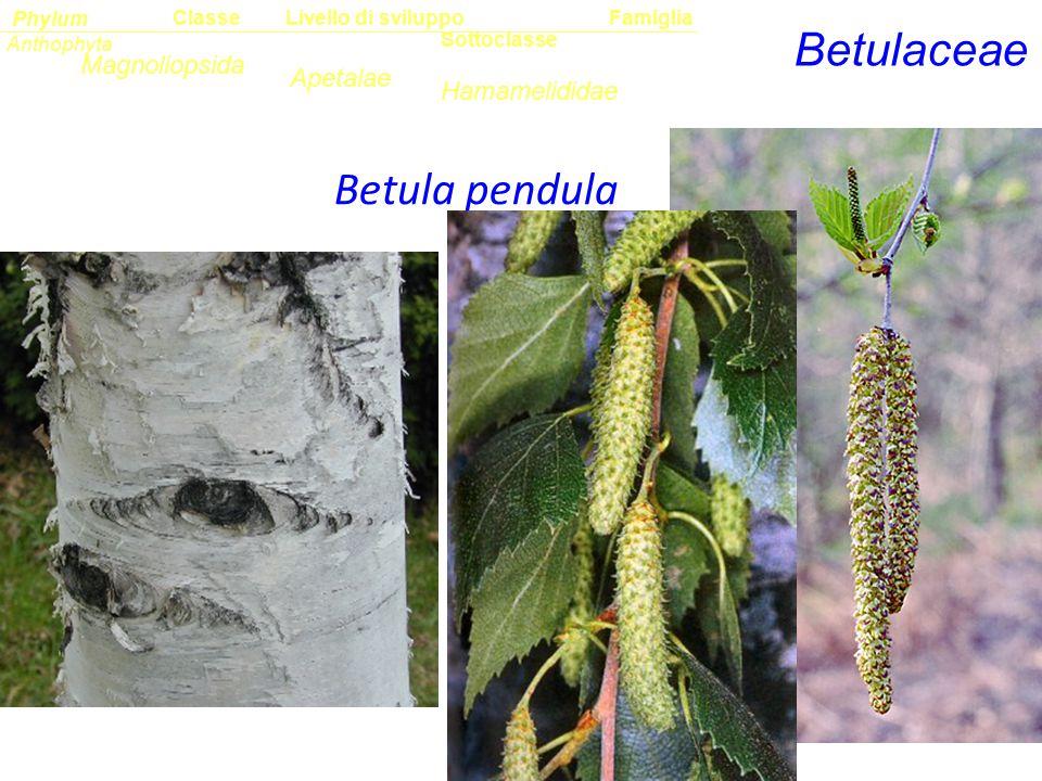 Betulaceae Betula pendula Sottoclasse ClassePhylumFamiglia Anthophyta Magnoliopsida Hamamelididae Livello di sviluppo Apetalae