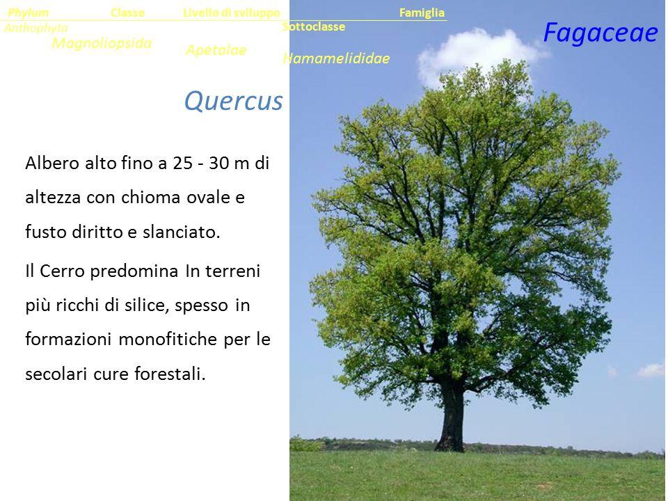Quercus cerris L. Albero alto fino a 25 - 30 m di altezza con chioma ovale e fusto diritto e slanciato. Il Cerro predomina In terreni più ricchi di si