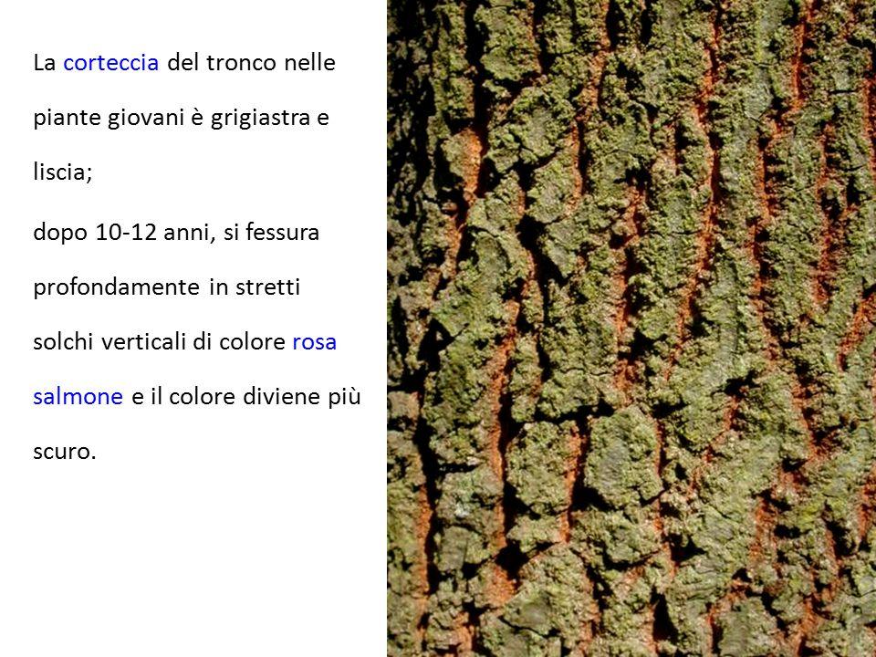 La corteccia del tronco nelle piante giovani è grigiastra e liscia; dopo 10-12 anni, si fessura profondamente in stretti solchi verticali di colore ro