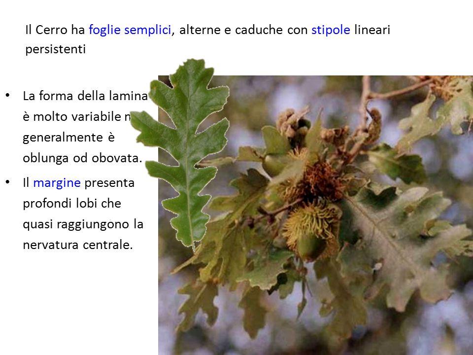 Il Cerro ha foglie semplici, alterne e caduche con stipole lineari persistenti La forma della lamina è molto variabile ma generalmente è oblunga od ob