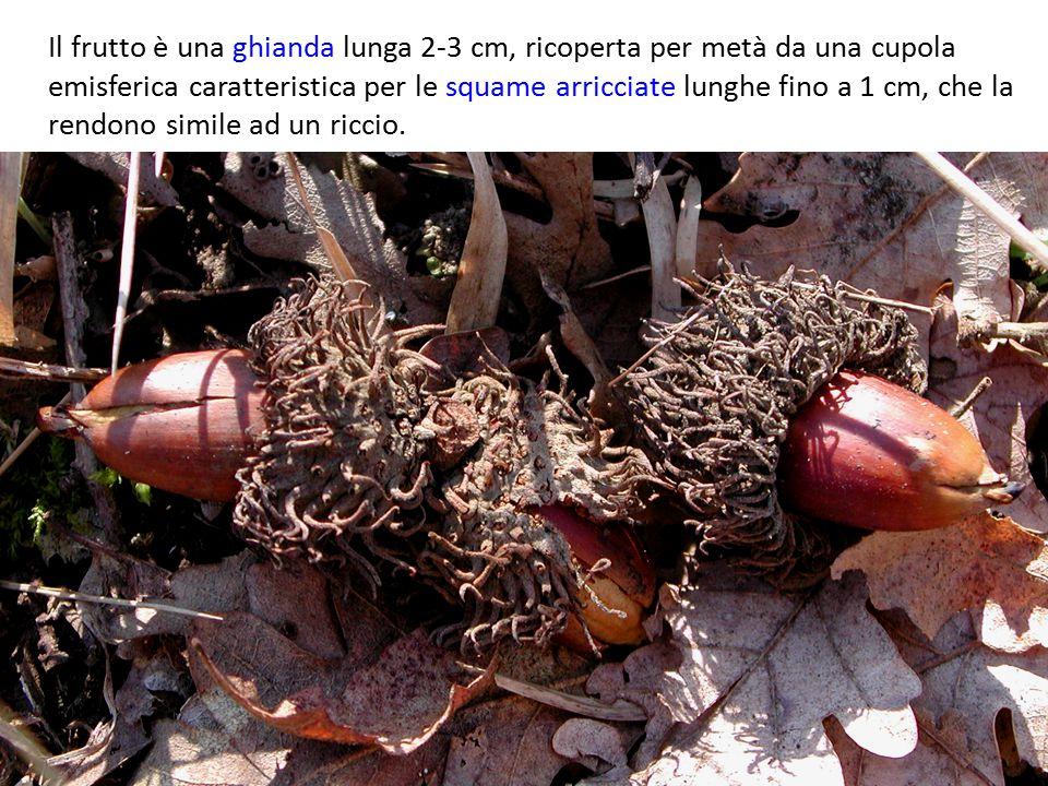 Il frutto è una ghianda lunga 2-3 cm, ricoperta per metà da una cupola emisferica caratteristica per le squame arricciate lunghe fino a 1 cm, che la r