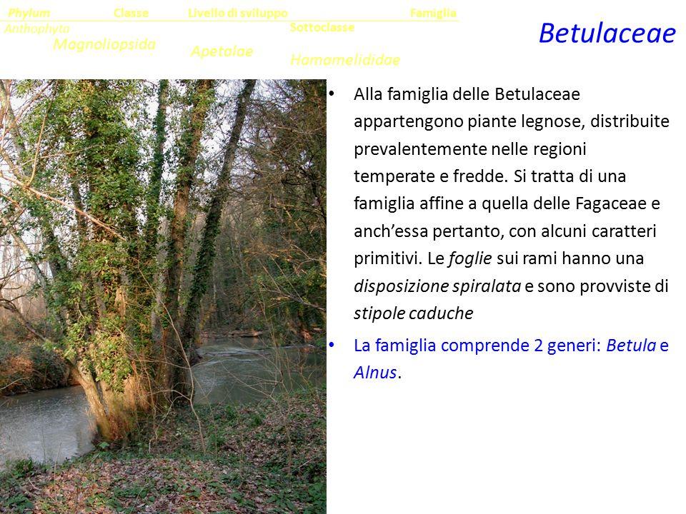 Alla famiglia delle Betulaceae appartengono piante legnose, distribuite prevalentemente nelle regioni temperate e fredde. Si tratta di una famiglia af