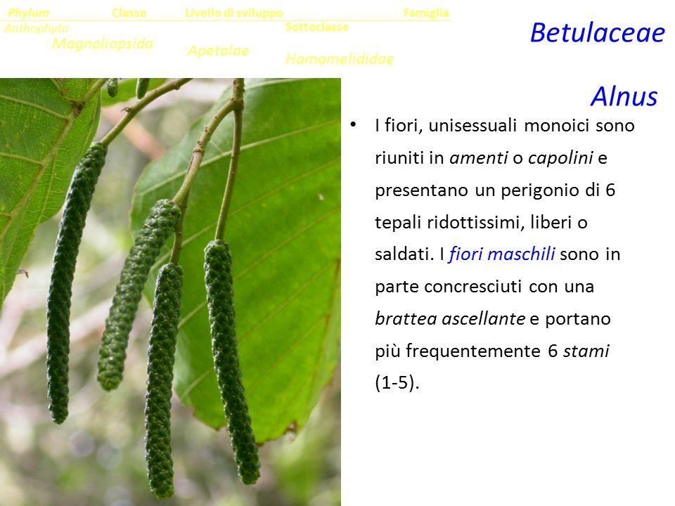I fiori, unisessuali monoici sono riuniti in amenti o capolini e presentano un perigonio di 6 tepali ridottissimi, liberi o saldati. I fiori maschili
