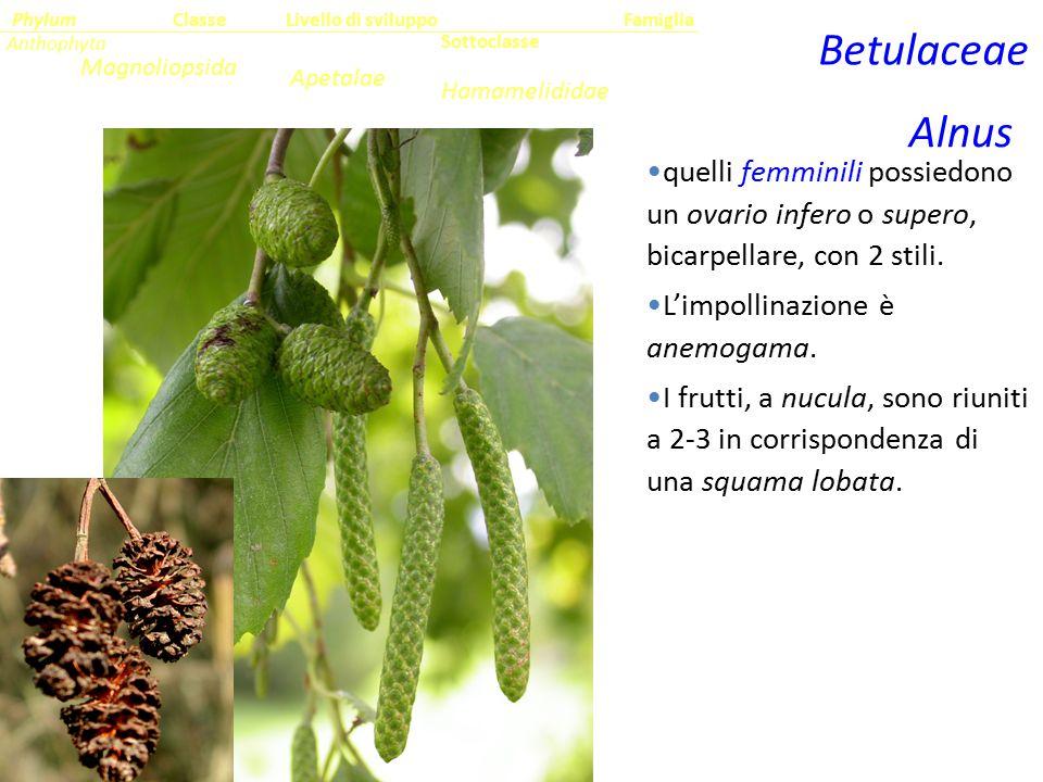 Sottoclasse ClassePhylumFamiglia Anthophyta Magnoliopsida Hamamelididae Livello di sviluppo Apetalae Betulaceae Alnus quelli femminili possiedono un o