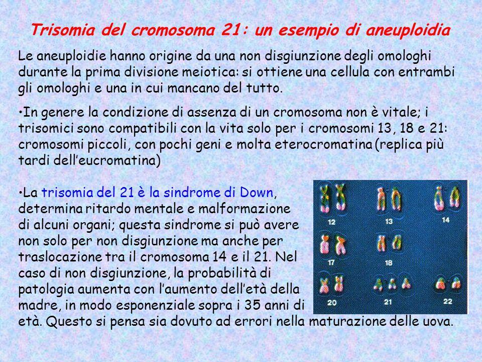 Trisomia del cromosoma 21: un esempio di aneuploidia Le aneuploidie hanno origine da una non disgiunzione degli omologhi durante la prima divisione meiotica: si ottiene una cellula con entrambi gli omologhi e una in cui mancano del tutto.