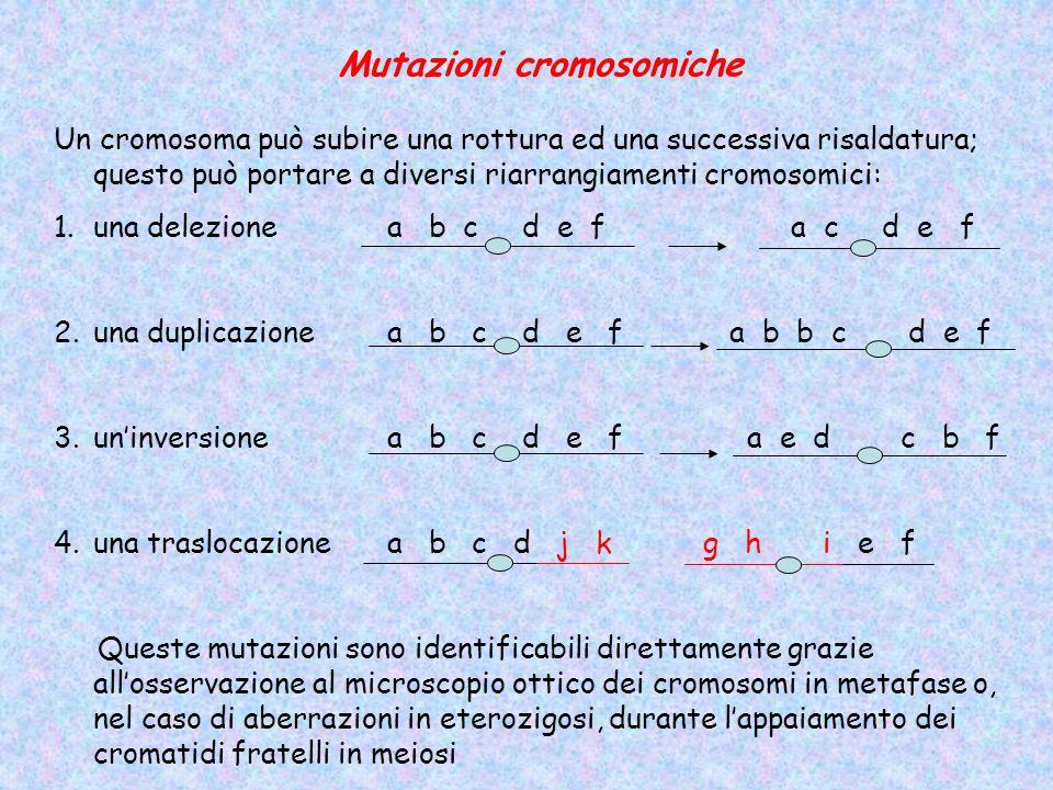 Mutazioni cromosomiche Un cromosoma può subire una rottura ed una successiva risaldatura; questo può portare a diversi riarrangiamenti cromosomici: 1.una delezione a b c d e fa c d e f 2.una duplicazione a b c d e f a b b c d e f 3.un'inversione a b c d e f a e d c b f 4.una traslocazione a b c d j k g h i e f Queste mutazioni sono identificabili direttamente grazie all'osservazione al microscopio ottico dei cromosomi in metafase o, nel caso di aberrazioni in eterozigosi, durante l'appaiamento dei cromatidi fratelli in meiosi