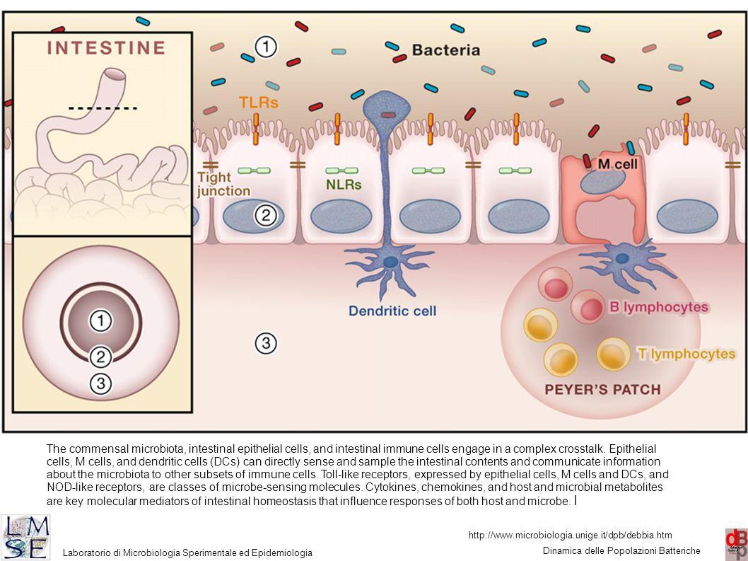 http://www.microbiologia.unige.it/dpb/debbia.htm Dinamica delle Popolazioni Batteriche Laboratorio di Microbiologia Sperimentale ed Epidemiologia 16 The commensal microbiota, intestinal epithelial cells, and intestinal immune cells engage in a complex crosstalk.