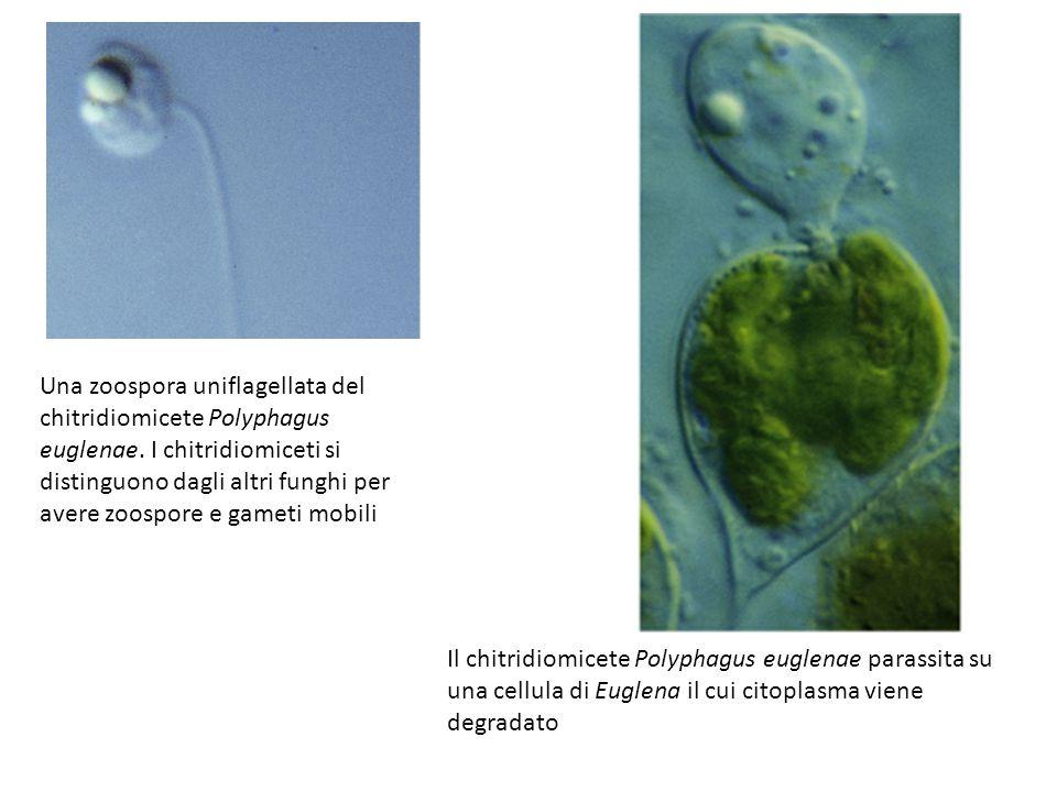 Una zoospora uniflagellata del chitridiomicete Polyphagus euglenae.