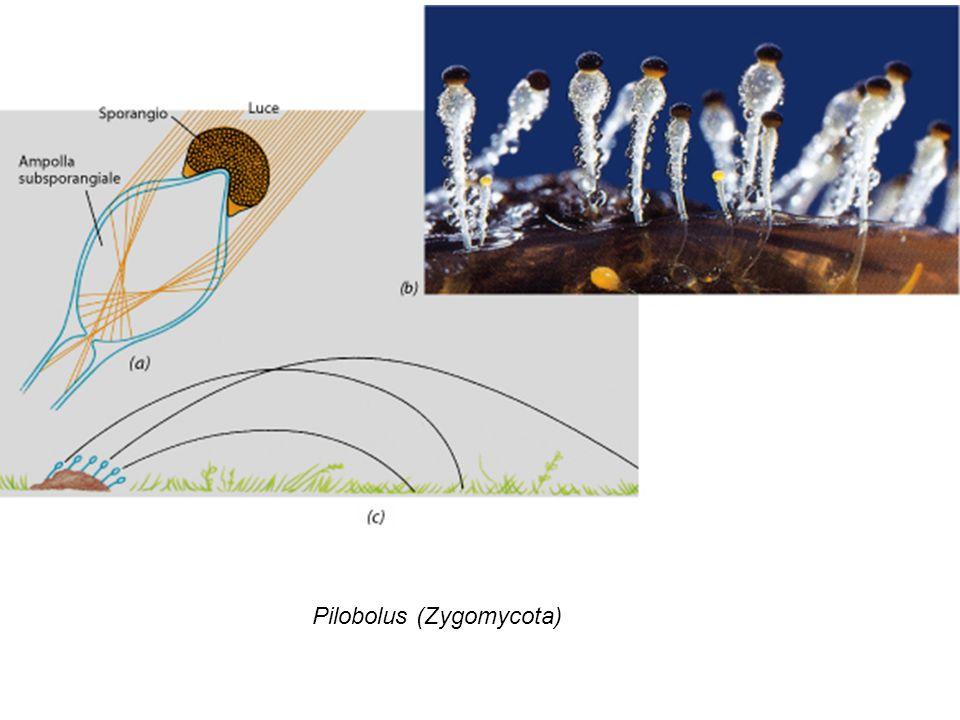 Pilobolus (Zygomycota)
