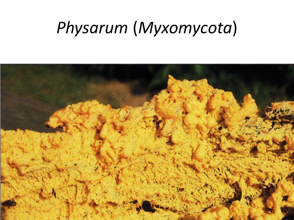 Chitrydium confervae, un comune chitridiomicete, osservato al microscopio a contrasto di fase interferenziale.