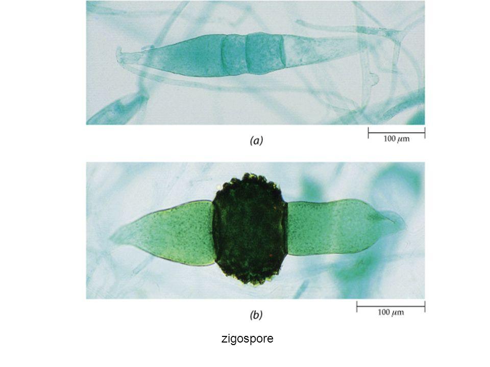 zigospore