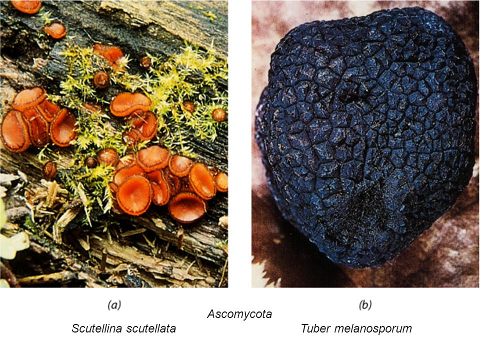 Ascomycota Scutellina scutellata Tuber melanosporum
