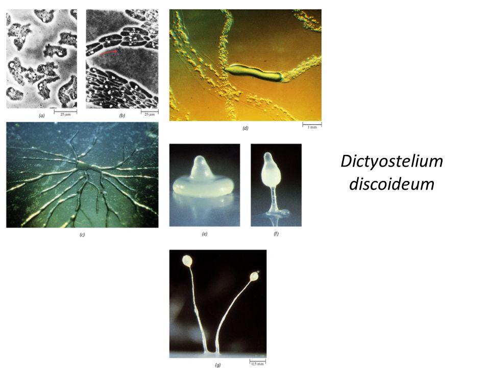 Dictyostelium mucoroides