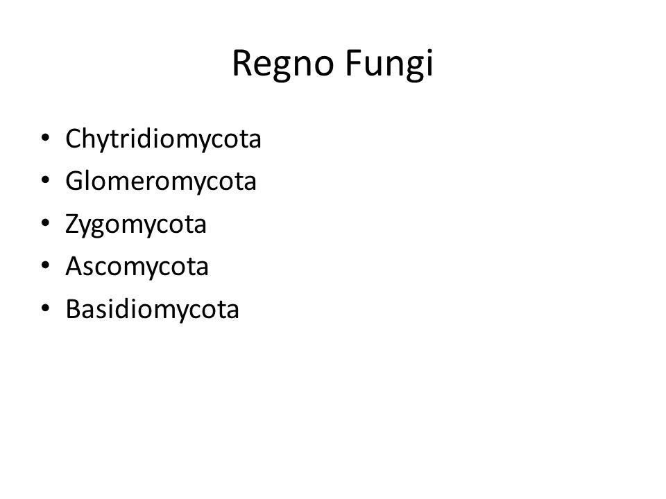 Regno Fungi Chytridiomycota Glomeromycota Zygomycota Ascomycota Basidiomycota