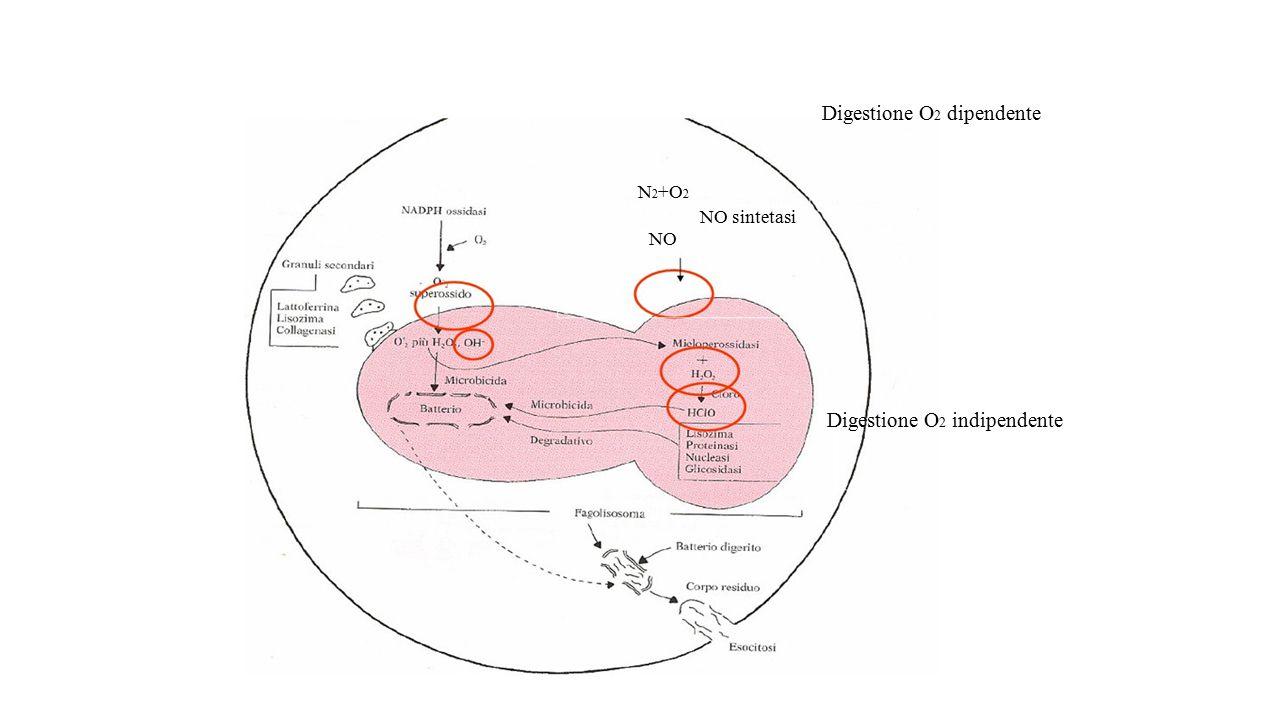 Digestione O 2 dipendente N 2 +O 2 NO sintetasi NO Digestione O 2 indipendente