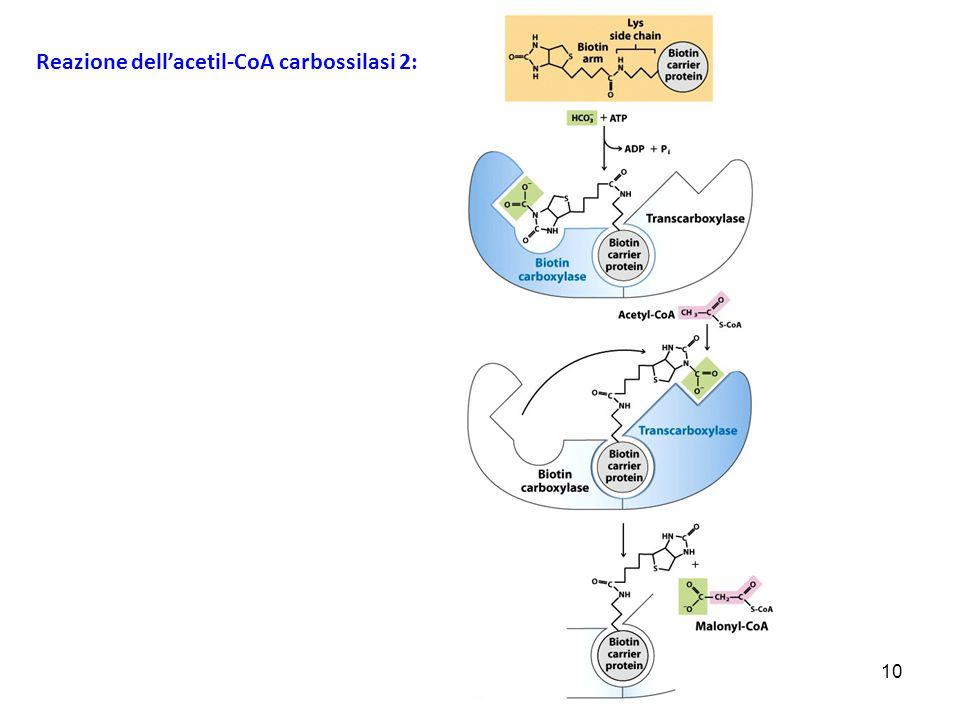 10 Reazione dell'acetil-CoA carbossilasi 2: