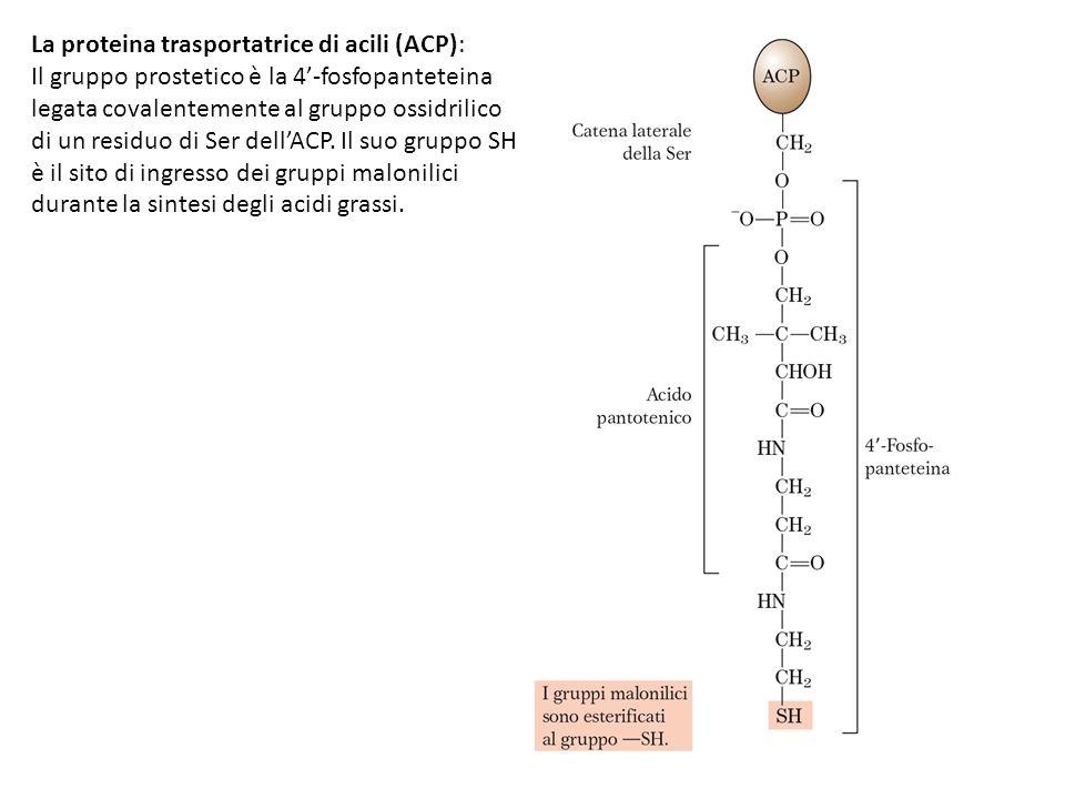 La proteina trasportatrice di acili (ACP): Il gruppo prostetico è la 4'-fosfopanteteina legata covalentemente al gruppo ossidrilico di un residuo di S
