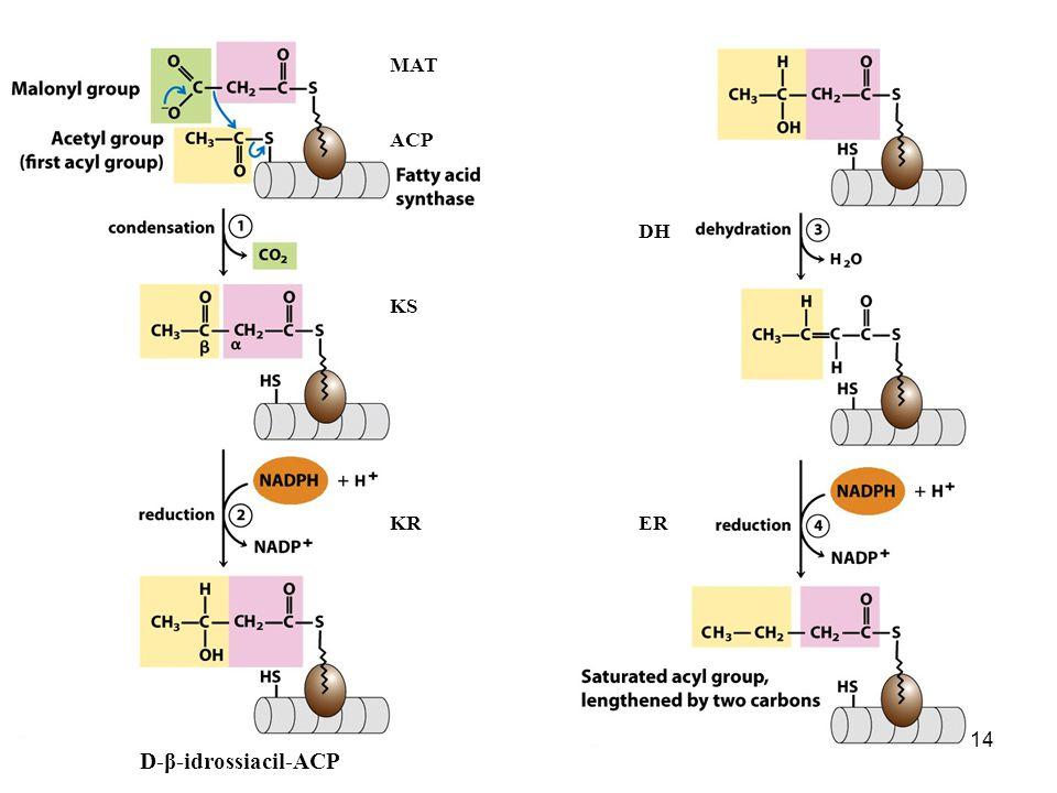 14 D-β-idrossiacil-ACP MAT KS KR DH ER ACP