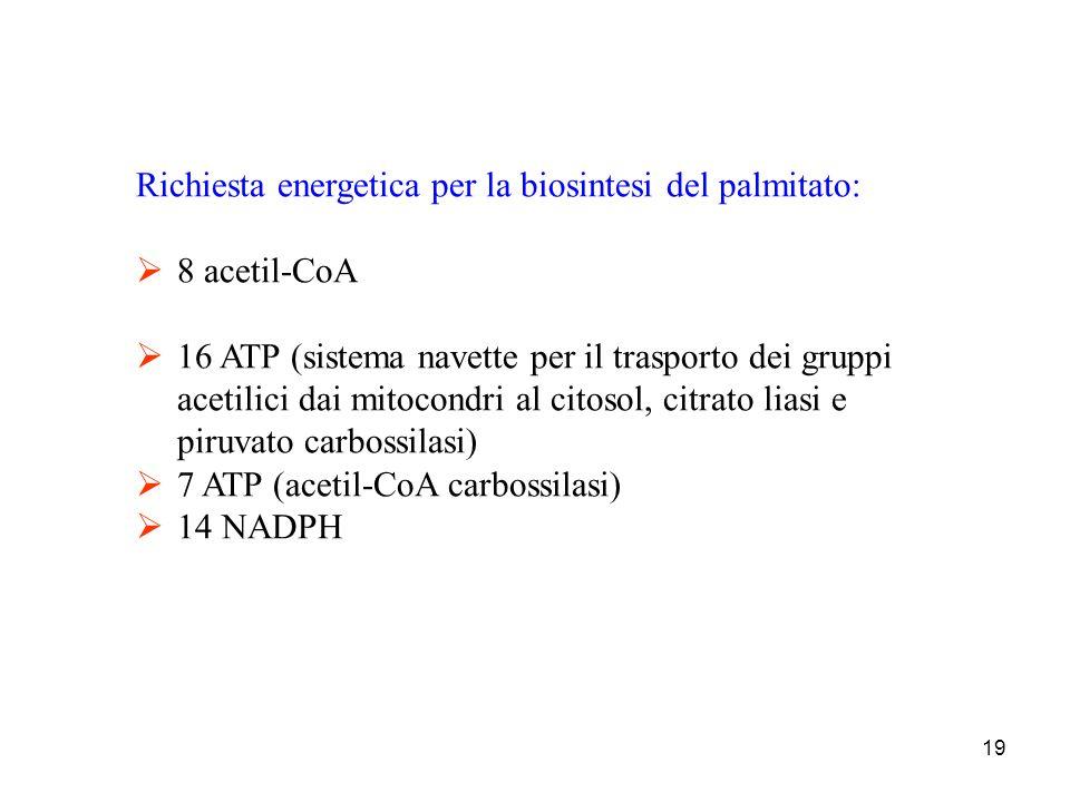 19 Richiesta energetica per la biosintesi del palmitato:  8 acetil-CoA  16 ATP (sistema navette per il trasporto dei gruppi acetilici dai mitocondri