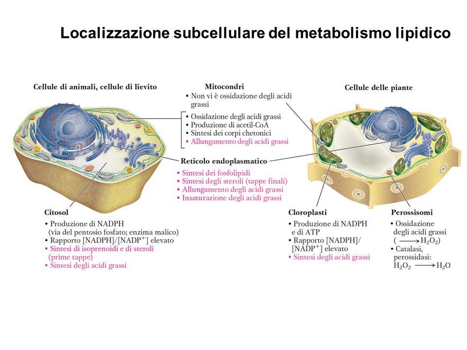 Localizzazione subcellulare del metabolismo lipidico