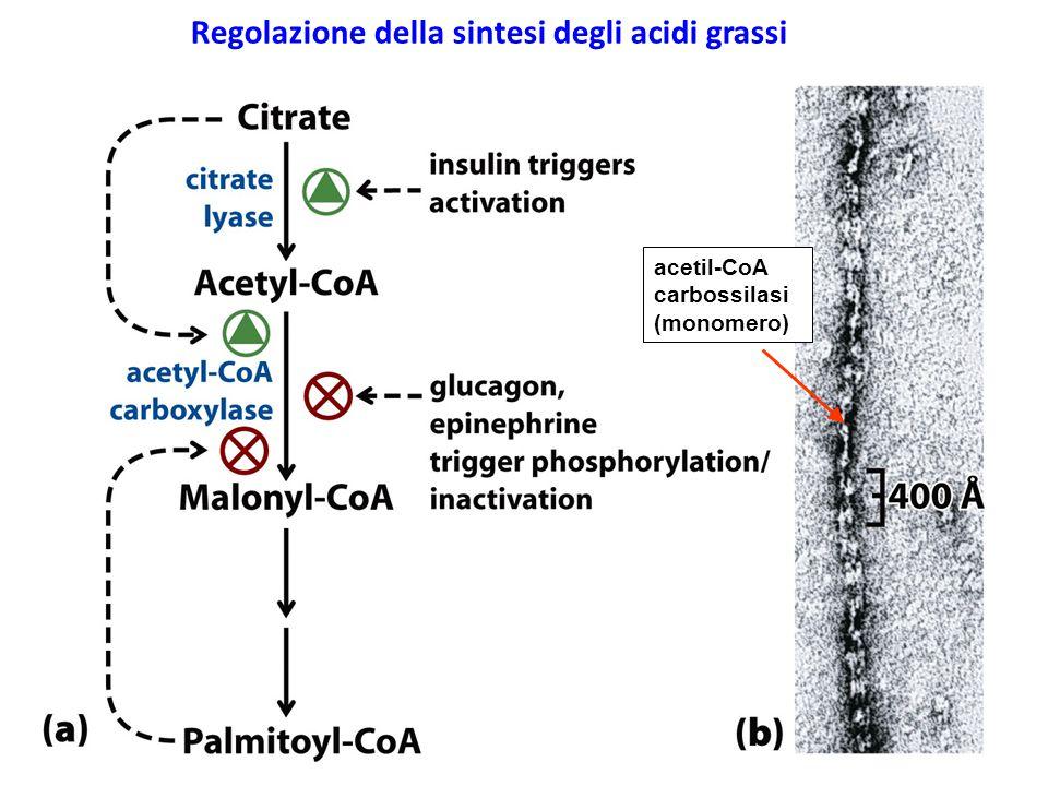 21 acetil-CoA carbossilasi (monomero) Regolazione della sintesi degli acidi grassi