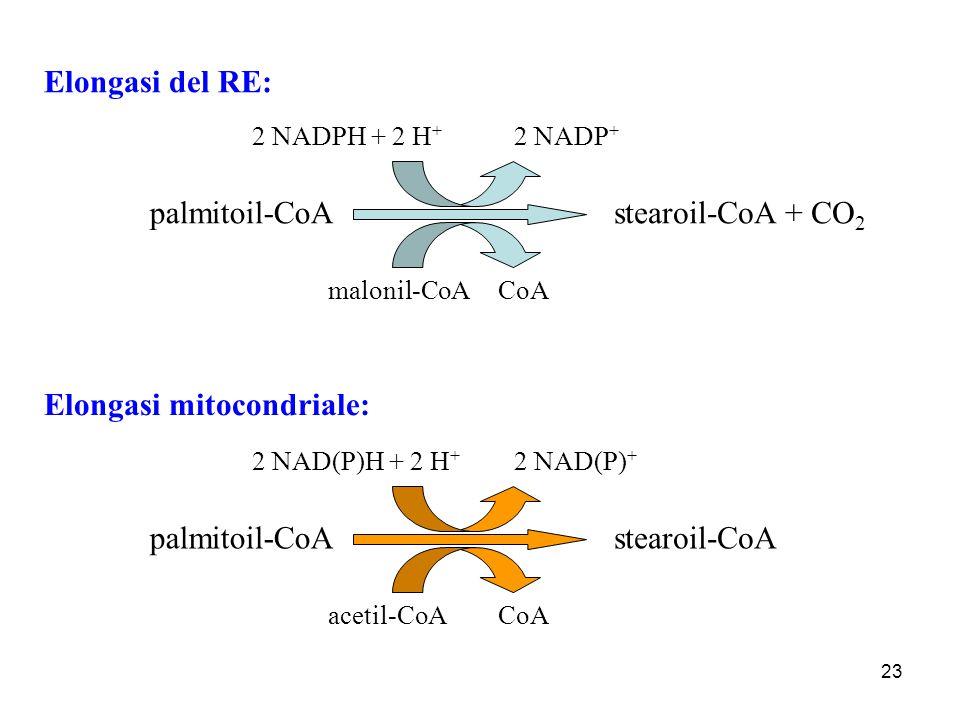 23 Elongasi del RE: palmitoil-CoAstearoil-CoA + CO 2 2 NADPH + 2 H + 2 NADP + malonil-CoACoA palmitoil-CoAstearoil-CoA 2 NAD(P)H + 2 H + 2 NAD(P) + ac