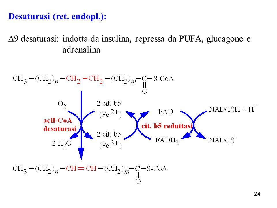 24 Desaturasi (ret. endopl.):  9 desaturasi: indotta da insulina, repressa da PUFA, glucagone e adrenalina