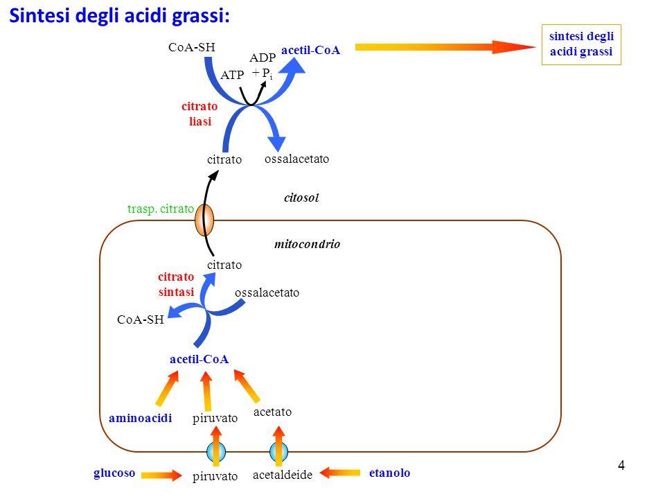 4 citrato liasi piruvato ossalacetato citosol citrato sintasi piruvato glucoso acetil-CoA CoA-SH citrato acetil-CoA CoA-SH sintesi degli acidi grassi