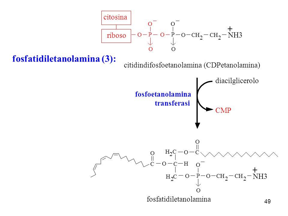 49 fosfatidiletanolamina (3): O P O CH 2 2 O O citidindifosfoetanolamina (CDPetanolamina) O P O O ribosocitosina C H H C 2 O 2 OC O P O O C O CH 2 2 O
