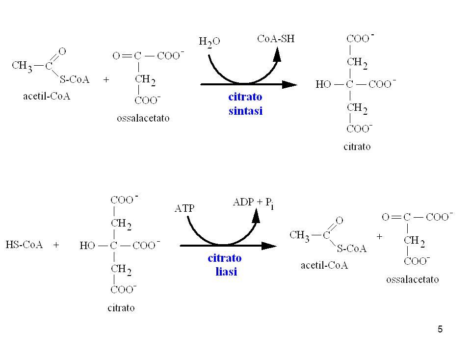 6 citrato liasi ossalacetato citosol citrato sintasi acetil-CoA CoA-SH citrato acetil-CoA CoA-SH sintesi degli acidi grassi ATP ADP + P i ossalacetatomalato NADH + H + NAD + NADP + NADPH + H + CO 2 mitocondrio piruvato mal DH enzima malico malatopiruvato NAD + NADH + H + ATP ADP + P i CO 2 mal DH piruvato carbossilasi piruvato glucoso aminoacidi acetato etanolo acetaldeide trasp.