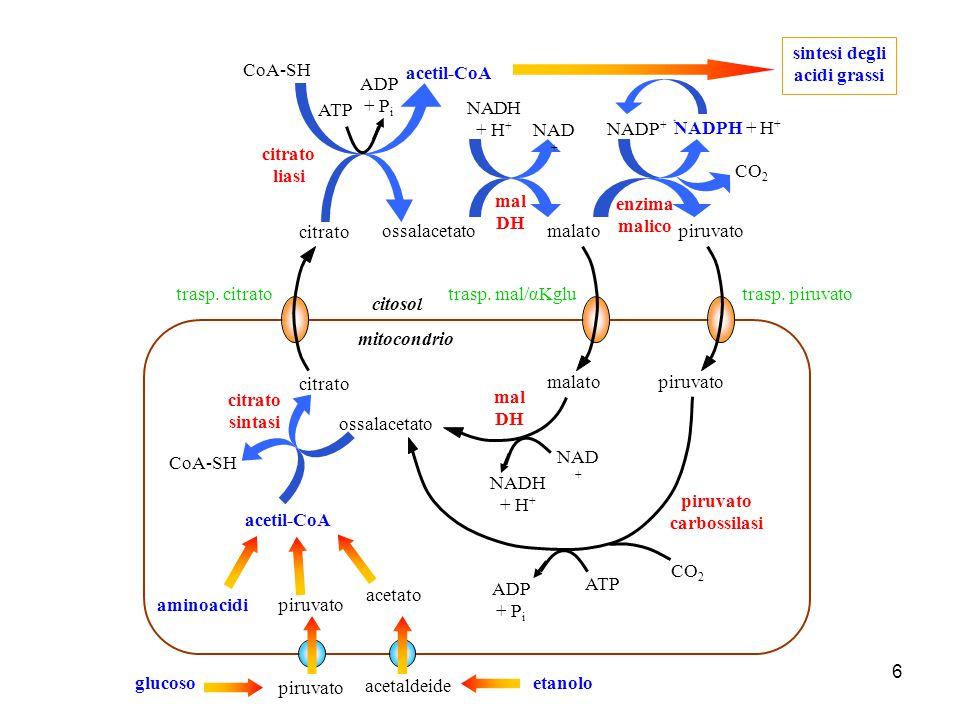 6 citrato liasi ossalacetato citosol citrato sintasi acetil-CoA CoA-SH citrato acetil-CoA CoA-SH sintesi degli acidi grassi ATP ADP + P i ossalacetato