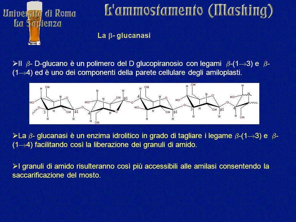 La  - glucanasi  Il  - D-glucano è un polimero del D glucopiranosio con legami  -(1  3) e  - (1  4) ed è uno dei componenti della parete cellulare degli amiloplasti.