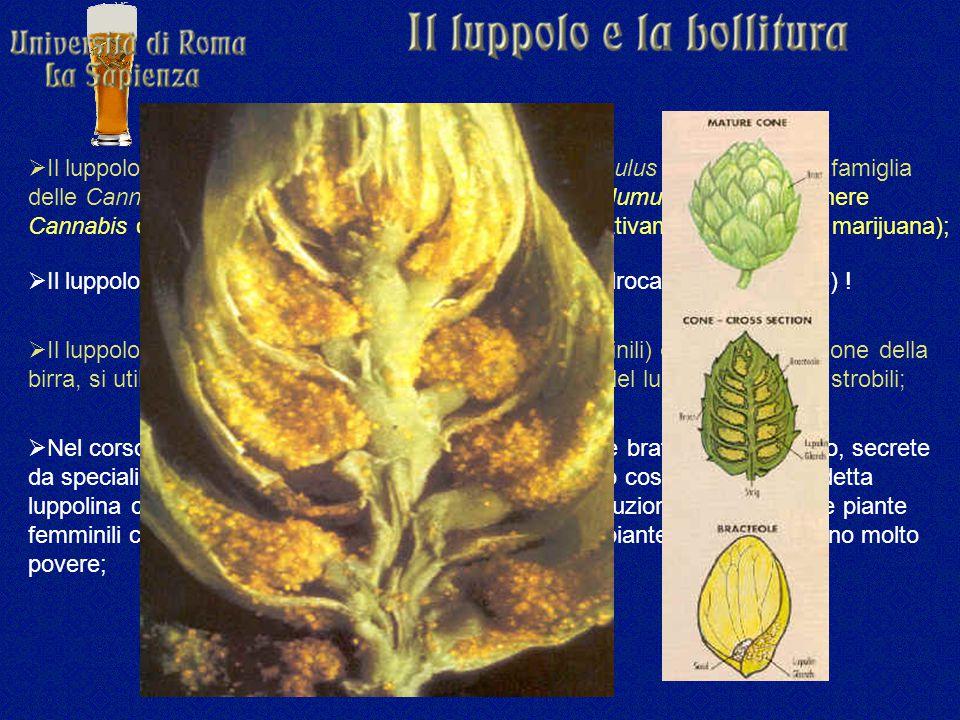  Il luppolo è classificato in botanica come Humulus lupulus e fa parte della famiglia delle Cannabinaceae che comprende, oltre al genere Humulus, anche il genere Cannabis con le due specie C.
