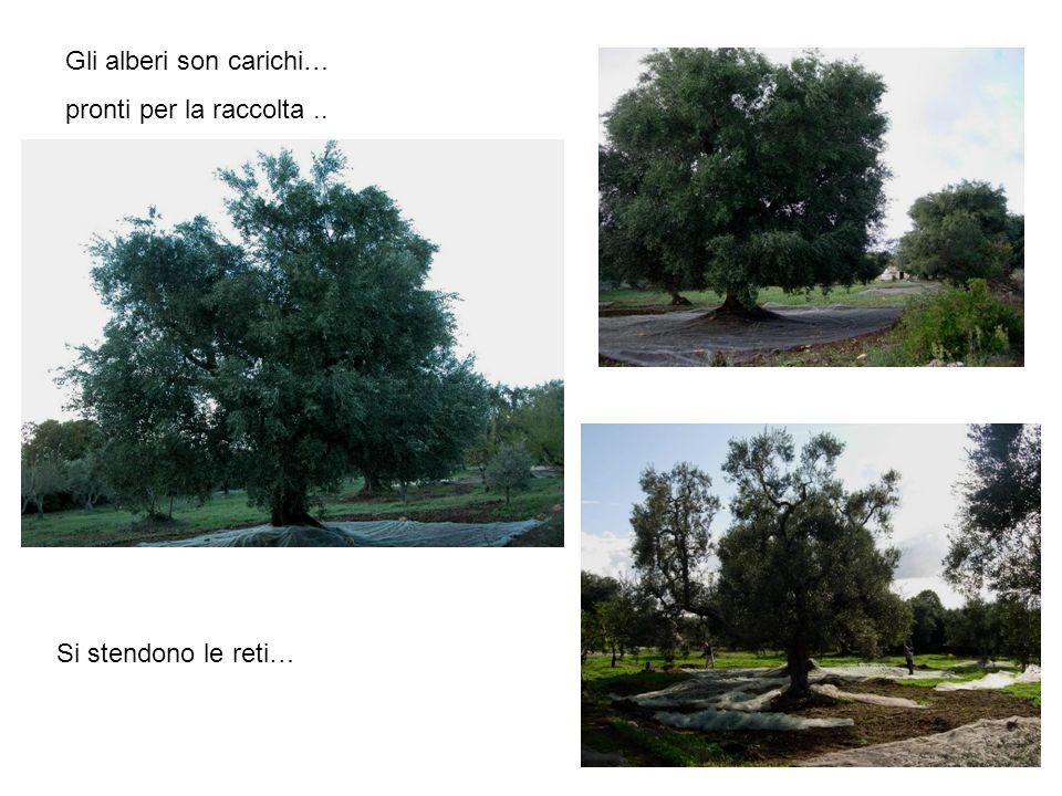 Gli alberi son carichi… pronti per la raccolta.. Si stendono le reti…