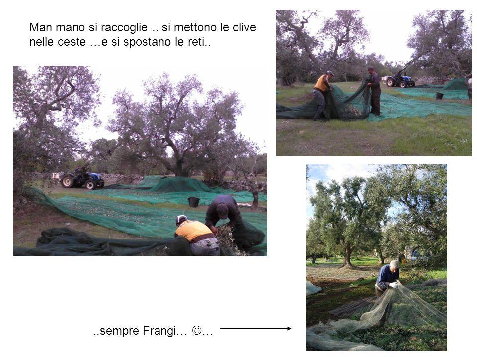 Man mano si raccoglie.. si mettono le olive nelle ceste …e si spostano le reti....sempre Frangi… …