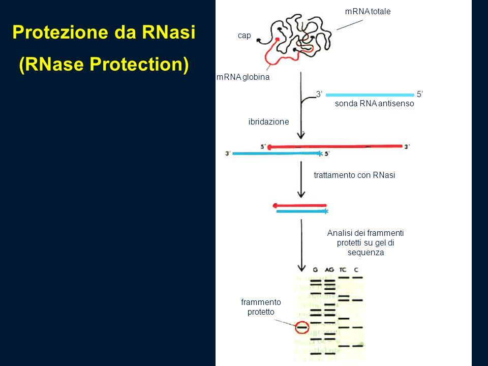 mRNA totale sonda RNA antisenso mRNA globina cap 5'3' ibridazione trattamento con RNasi Analisi dei frammenti protetti su gel di sequenza frammento pr