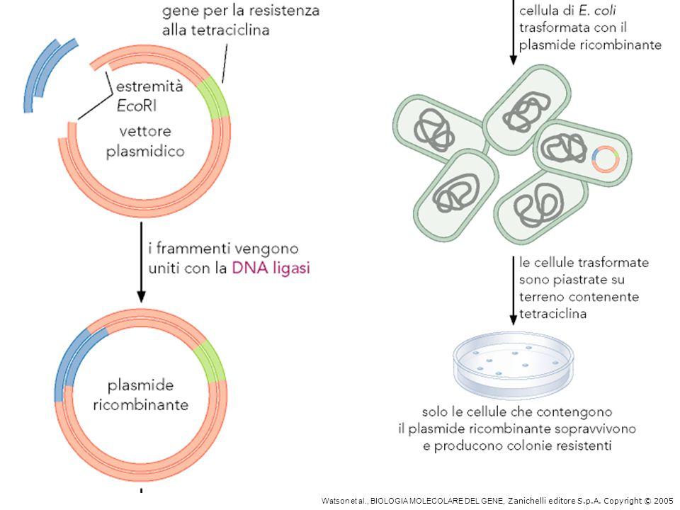 Topi transgenici