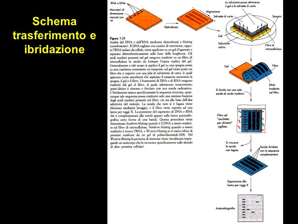 Sistemi di espressione In vitro: - estratti cellulari In vivo: - cellule in coltura - animali transgenici