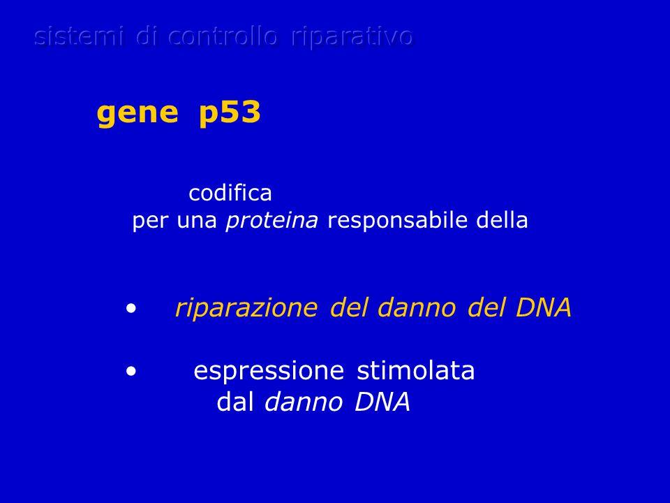 codifica per una proteina responsabile della riparazione del danno del DNA espressione stimolata dal danno DNA gene p53
