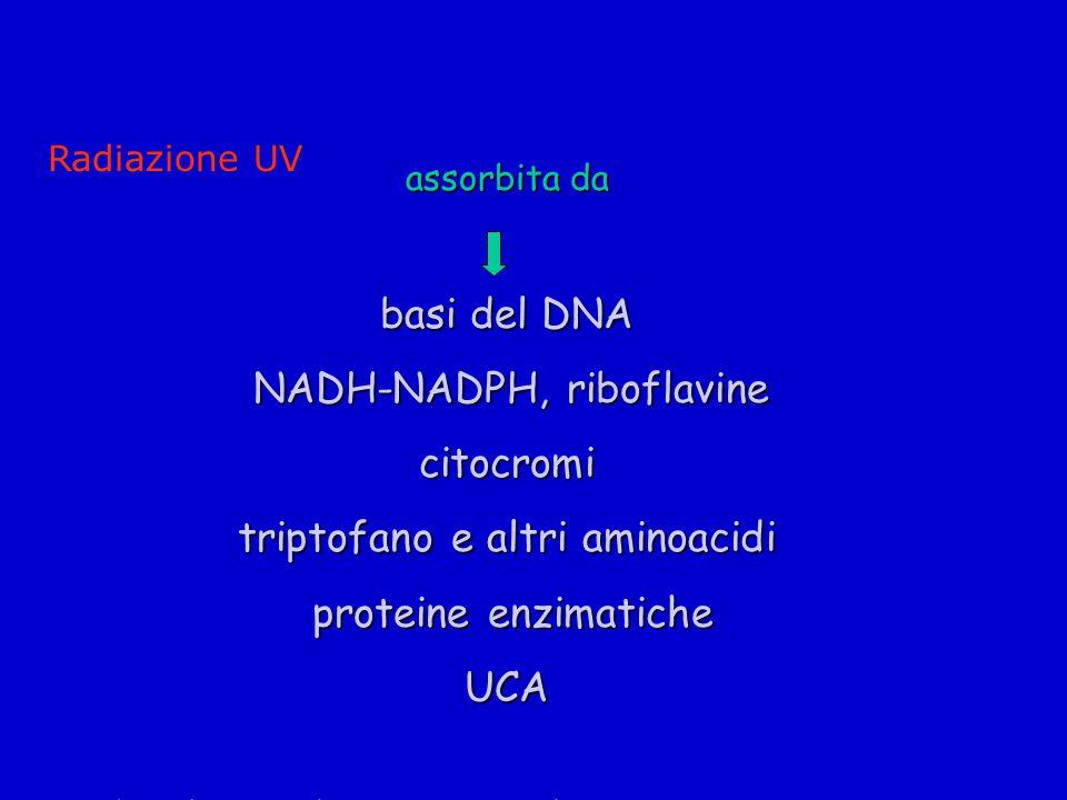 assorbita da basi del DNA NADH-NADPH, riboflavine NADH-NADPH, riboflavinecitocromi triptofano e altri aminoacidi proteine enzimatiche proteine enzimaticheUCA * Sander CS et al.