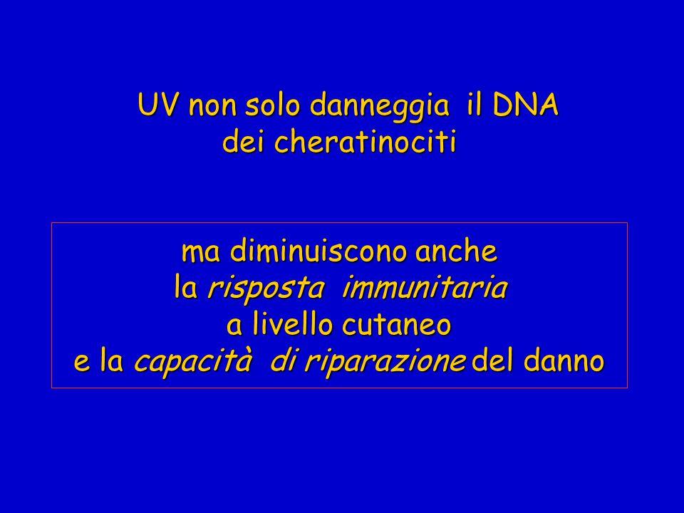 UV non solo danneggia il DNA dei cheratinociti ma diminuiscono anche la risposta immunitaria a livello cutaneo e la capacità di riparazione del danno UV non solo danneggia il DNA dei cheratinociti ma diminuiscono anche la risposta immunitaria a livello cutaneo e la capacità di riparazione del danno