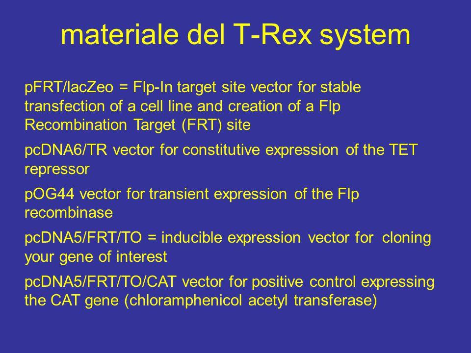 riepilogo 4 vettori +1: 1 per integrazione nella linea cellulare con FLP site 3 per far ricombinare nel sito FRT il gene d'interesse 4 trasfezione transiente per fare esprimere la ricombinase 5 di controllo della trasfezione per l'espressione di CAT 6 domande.