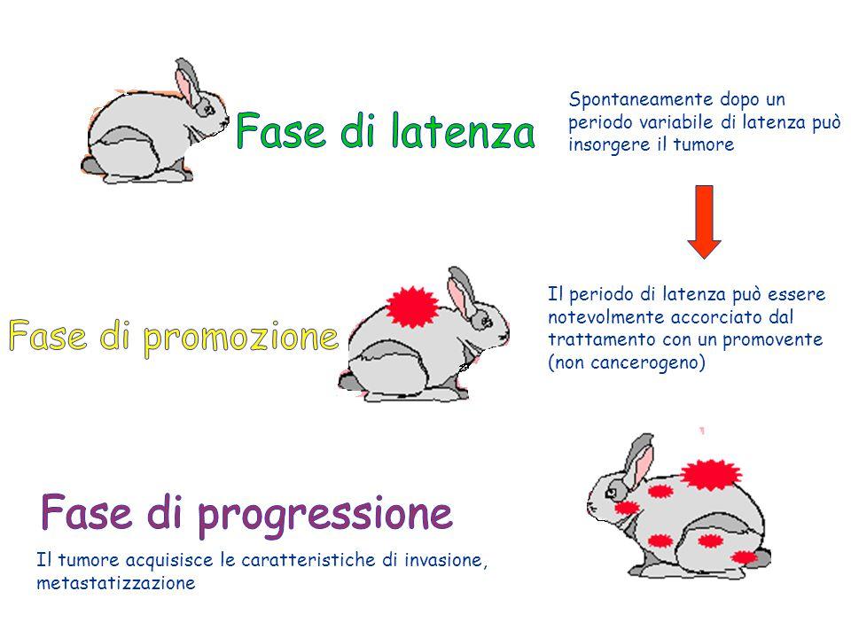 Spontaneamente dopo un periodo variabile di latenza può insorgere il tumore Il periodo di latenza può essere notevolmente accorciato dal trattamento c