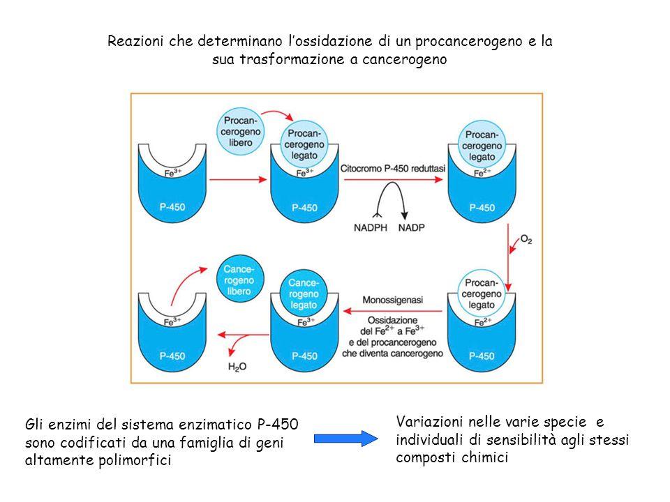 Reazioni che determinano l'ossidazione di un procancerogeno e la sua trasformazione a cancerogeno Gli enzimi del sistema enzimatico P-450 sono codific