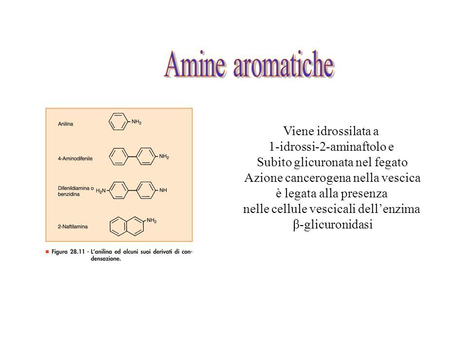 Viene idrossilata a 1-idrossi-2-aminaftolo e Subito glicuronata nel fegato Azione cancerogena nella vescica è legata alla presenza nelle cellule vesci