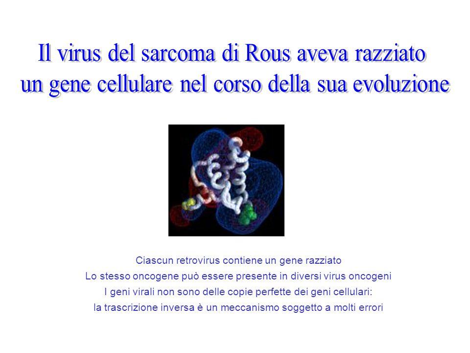 Ciascun retrovirus contiene un gene razziato Lo stesso oncogene può essere presente in diversi virus oncogeni I geni virali non sono delle copie perfe