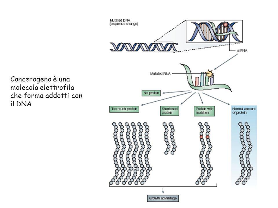 Cancerogeno è una molecola elettrofila che forma addotti con il DNA