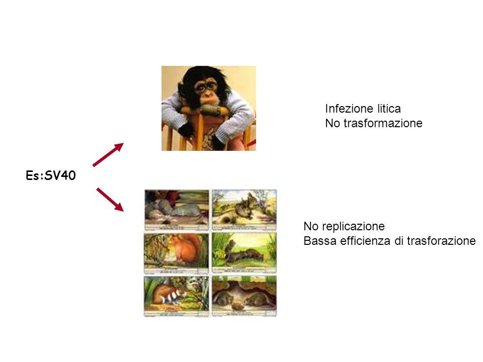 Es:SV40 Infezione litica No trasformazione No replicazione Bassa efficienza di trasforazione
